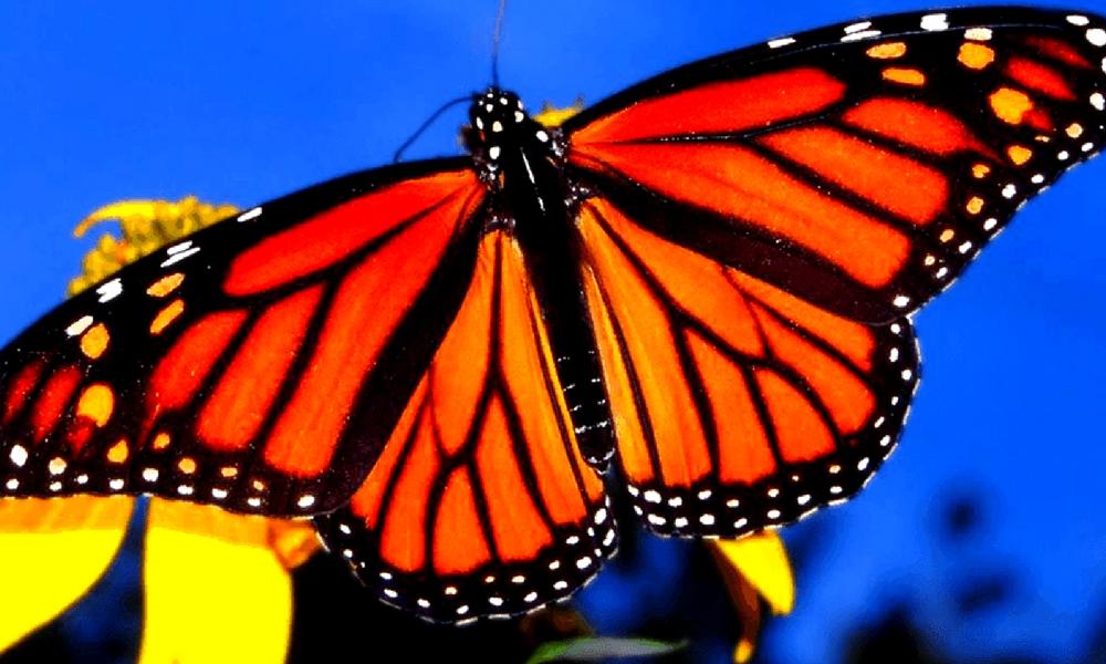 La bella mariposa monarca reduce su población