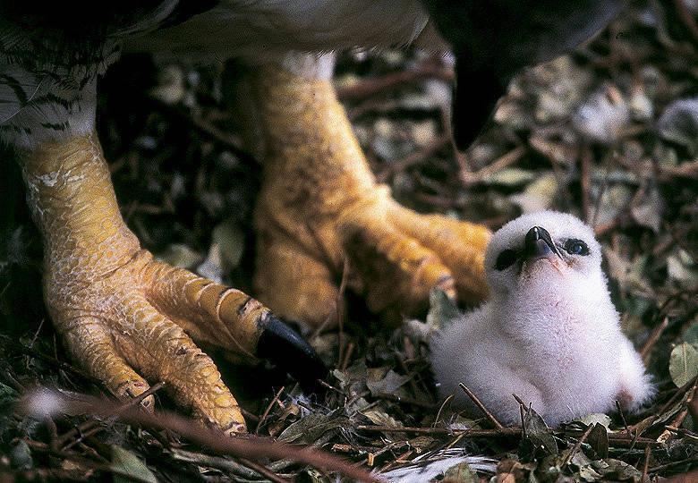 Así crece el águila más poderosa del mundo