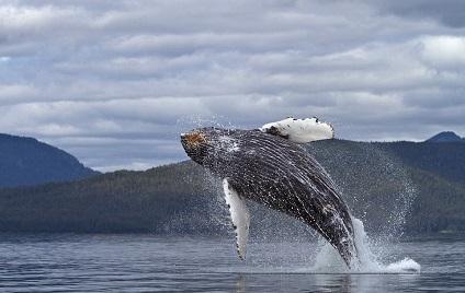 Proteger a las ballenas para proteger el planeta
