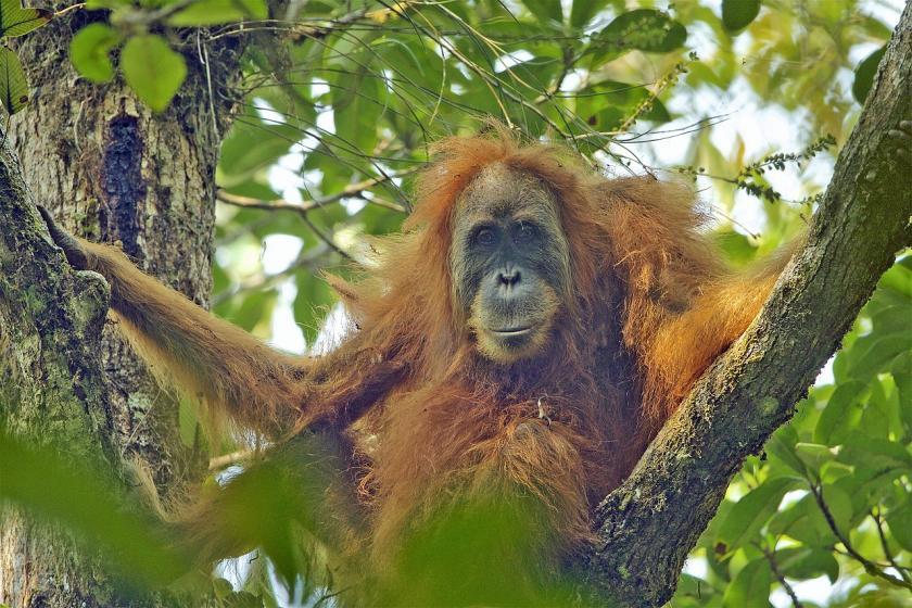 Orangutanes, su supervivencia pende de un hilo.