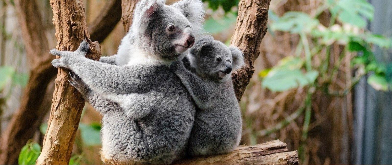 ¿Qué sabemos sobre el estado de los koalas en Australia?