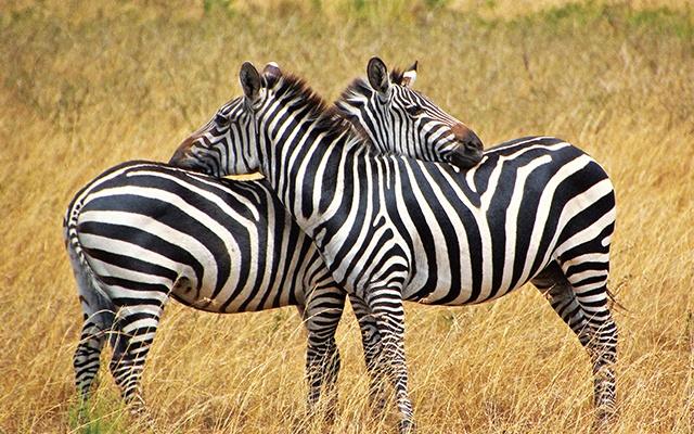 ¿De qué les sirven a las cebras sus rayas?