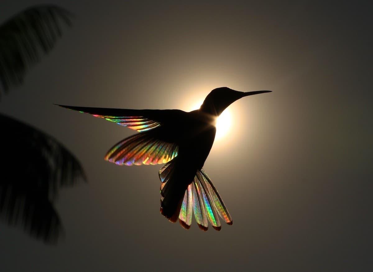 Los colores del arcoíris en las alas de los colibrís