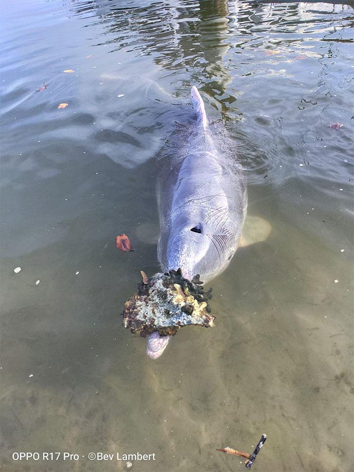 Una manada de delfines trae «regalos marinos» a cambio de comida