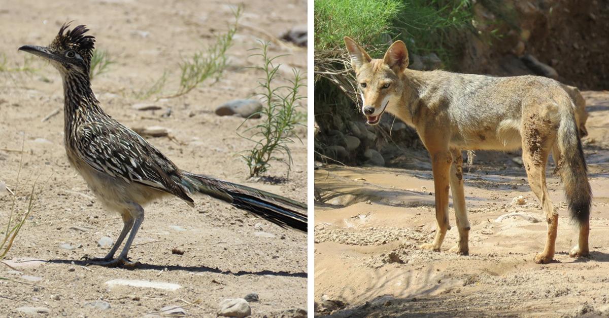 El coyote persigue al correcaminos en la vida real