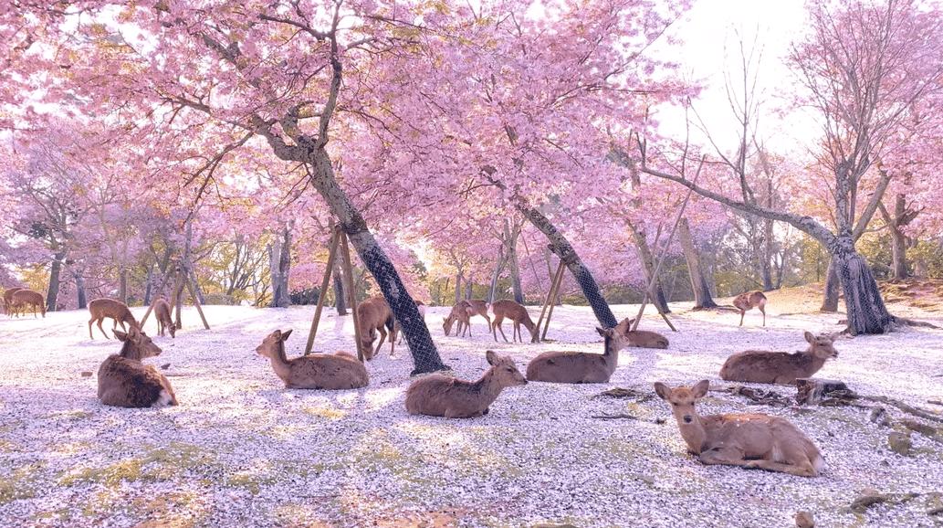 Los ciervos se relajan bajo los cerezos del Parque de Nara en Japón