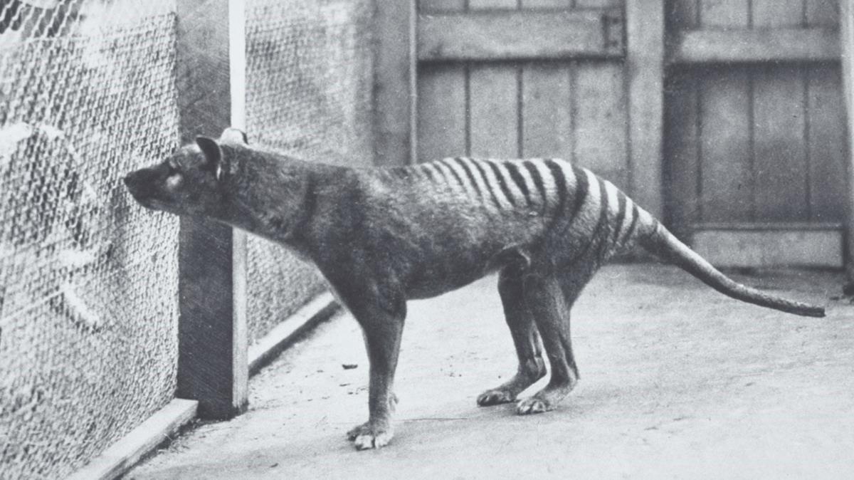 Recuperan las últimas imágenes de un tigre de Tasmania