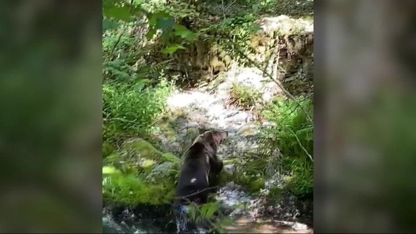Consiguen grabar a un oso pardo asturiano dándose un baño