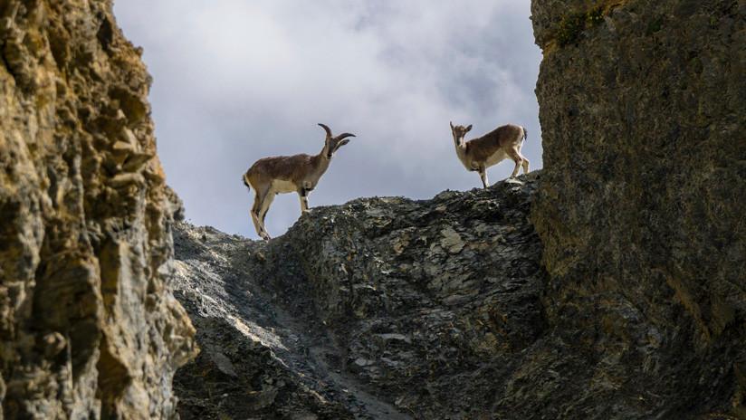 Estas cabras del Himalaya desafían a la gravedad descendiendo un acantilado