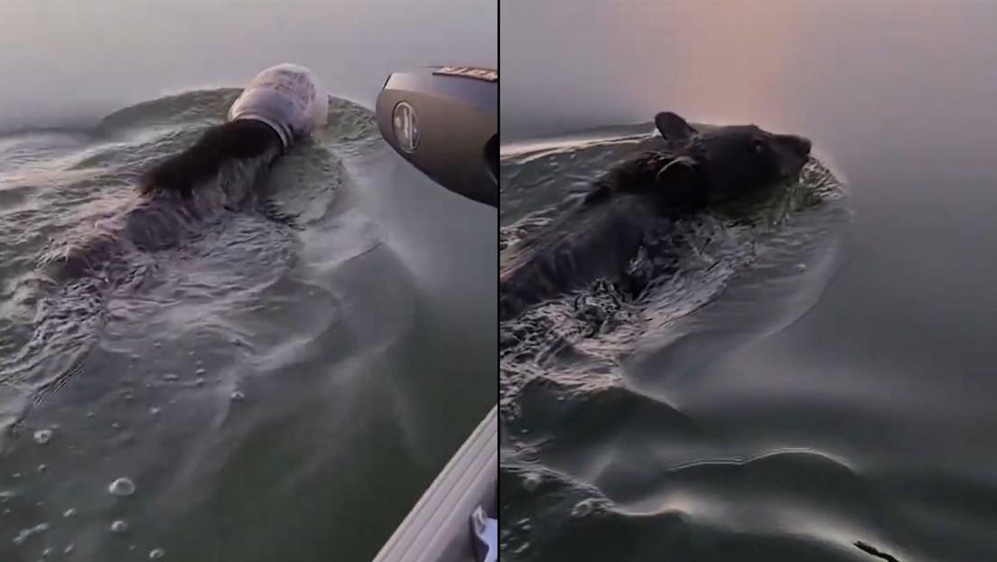 Familia salva a un oso en un lago que tenía la cabeza atrapada