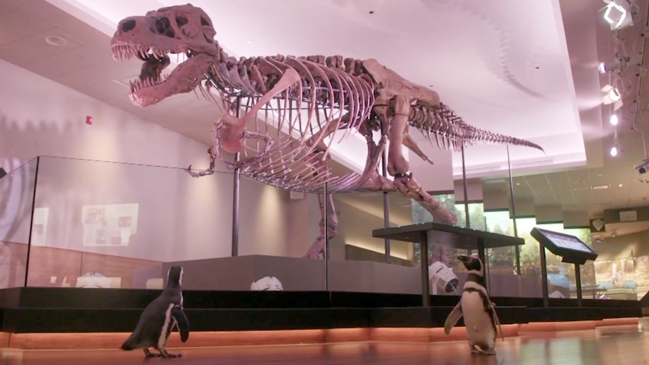 Pingüinos visitan a los dinosaurios del museo de Chicago