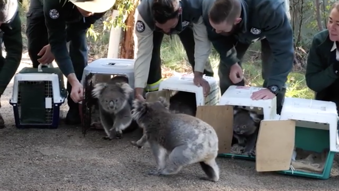 Devuelven al bosque a los koalas rescatados de los incendios en Australia