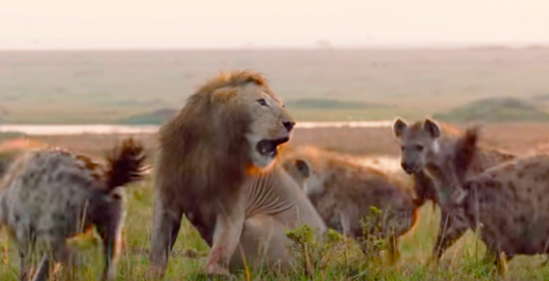 Un león agradece a su compañero tras salvarle de una manada de hienas