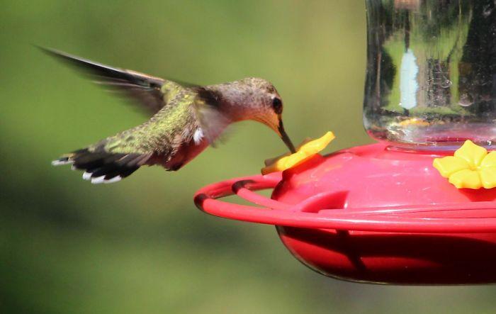 Las buenas relaciones entre colibrís y humanos: tú me das de comer, yo me dejo filmar