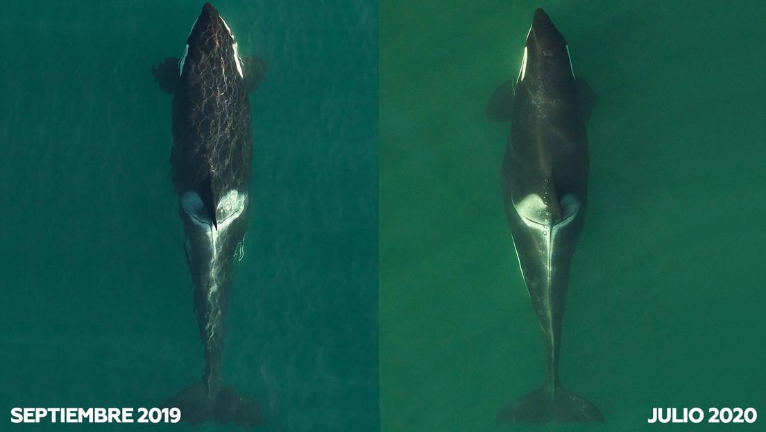 La orca que conmovió al mundo al cargar a su cría muerta durante 17 días vuelve a ser madre