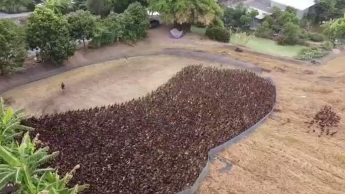 Diez mil patos inundan los campos de arroz de Tailandia
