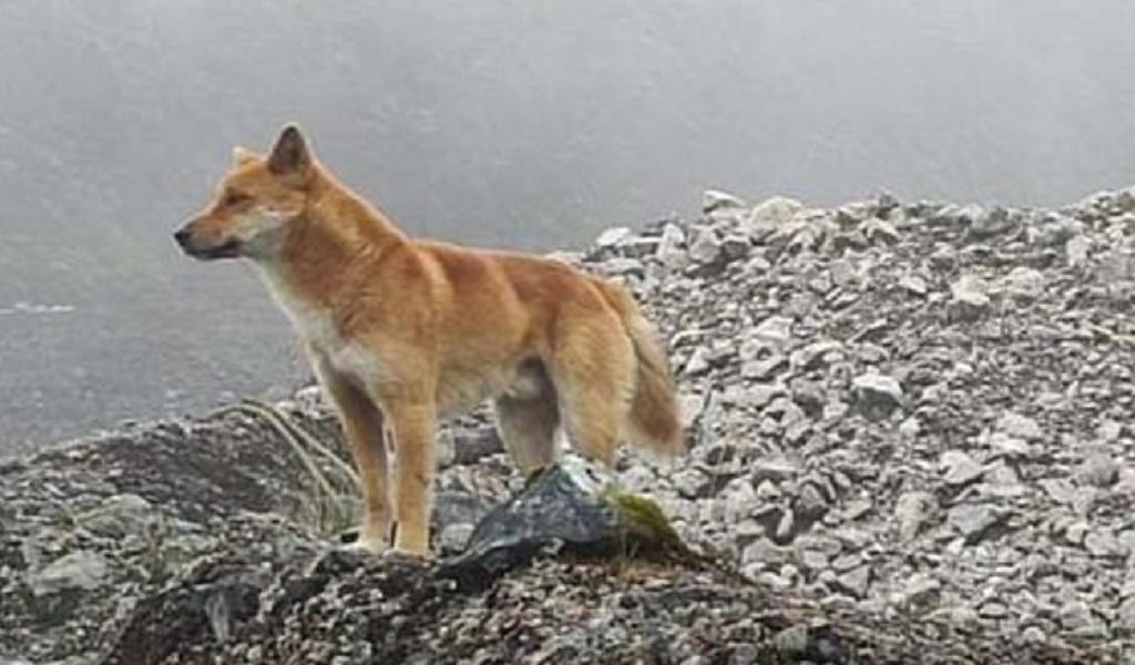 Reaparece el perro cantor de Nueva Guinea tras ser declarado extinto