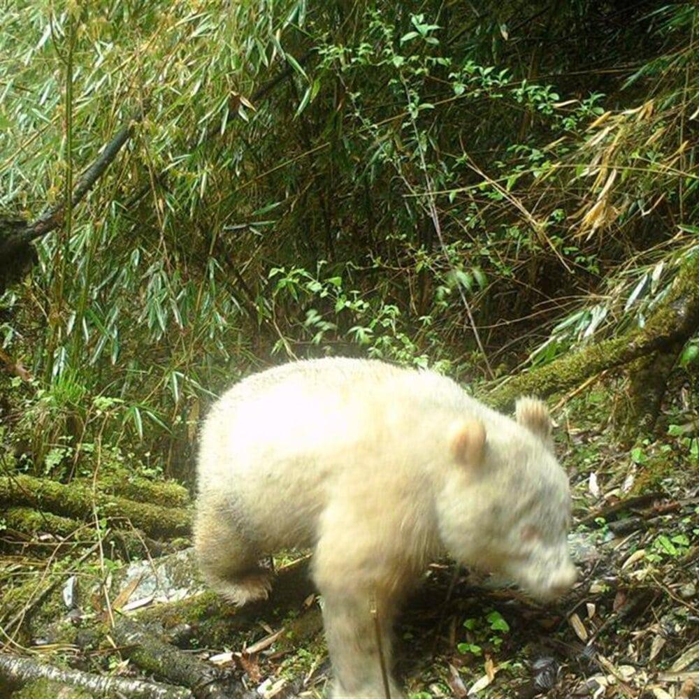 Un oso panda albino se deja fotografiar por primera vez en la historia
